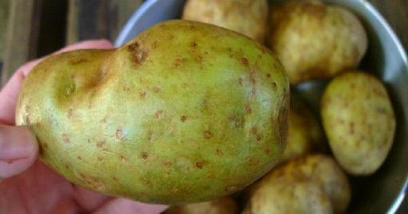 Почему нельзя есть зелёный картофель