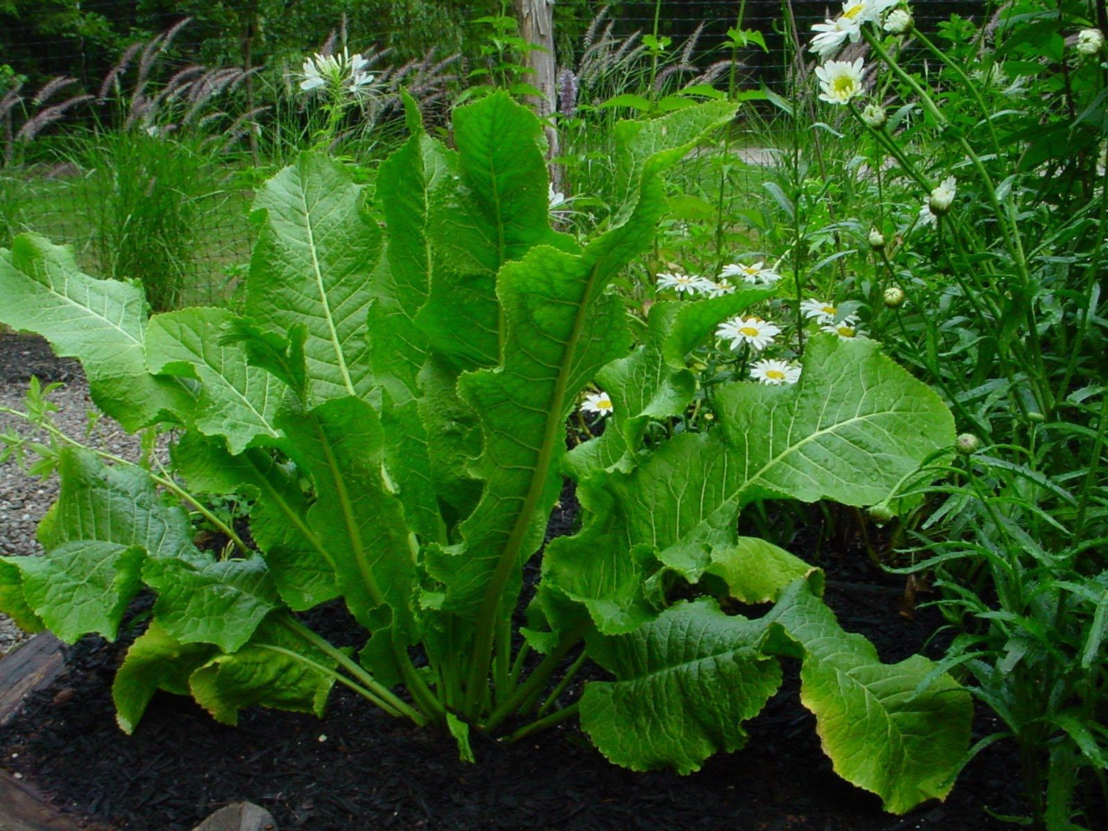 Лечение суставов листьями хрена: воздействие растения и рецепты народной медицины рекомендации